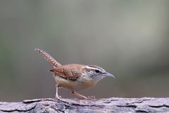 Carolina Wren Perching no inverno foto de stock