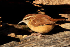 Carolina wren. Searches for food stock images