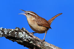 Carolina Wren Singing Stock Photo