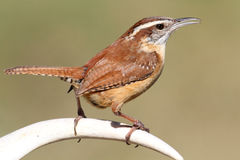 Carolina Wren Singing On An Antler Stock Image
