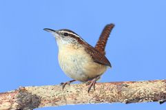 Carolina Wren Singing Stock Photography