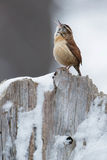 Carolina Wren. Singing from the top of a stump royalty free stock photos