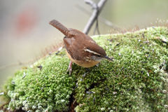 Carolina wren. Sitting a bed of moss on a rainy, misty dreary day Stock Photography