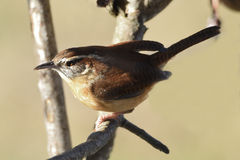 Carolina wren. Sitting on a branch in the sunlight Stock Images