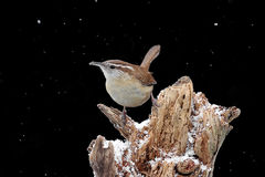 Carolina Wren In Snow Royalty Free Stock Image
