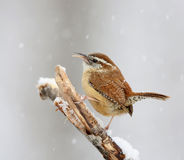 Carolina Wren in snow Stock Image
