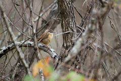 Carolina Wren songbird perch. Carolina Wren, Thryothorus ludovicianus, songbird perched singing, passerine bird Royalty Free Stock Photography