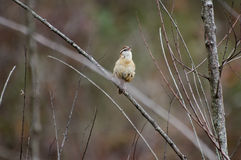 Carolina Wren songbird perch. Carolina Wren, Thryothorus ludovicianus, songbird perched singing, passerine bird, Walton County Georgia Stock Image