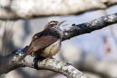 Carolina Wren songbird singing, Georgia USA royalty free stock images