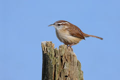 Carolina Wren On A Stump Stock Photography