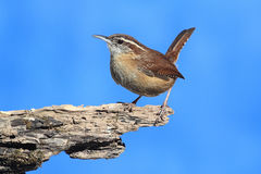 Carolina Wren On A Stump Royalty Free Stock Photo
