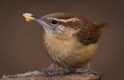 Carolina Wren with Suet. In backyard on a log Royalty Free Stock Images