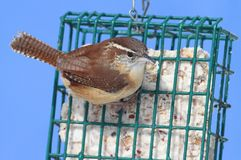 Carolina Wren On A Suet Feeder. Carolina Wren (Thryothorus ludovicianus) on a suet feeder Stock Photo