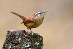 Carolina Wren (Thryothorus ludovicianus) Stock Images