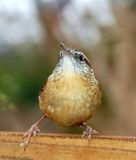 Carolina Wren Thryothorus Ludovicianus. Funny Carolina wren looking up Royalty Free Stock Photography