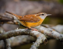 Carolina Wren (Thryothorus ludovicianus) on a perch Royalty Free Stock Photos