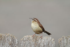 Carolina Wren (Thryothorus ludovicianus) Stock Photo
