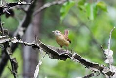 Carolina Wren perched on Sweetgum tree branch, Georgia, USA Royalty Free Stock Photography