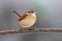 Carolina Wren in Winter Stock Photo