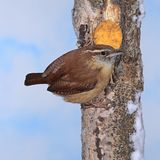 Carolina wren at Winter Suet. A Carolina Wren at winter suet Royalty Free Stock Image