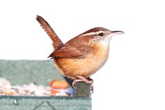 Carolina Wren in Winter Stock Photography