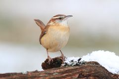 Carolina Wren in Winter Royalty Free Stock Images