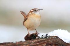 Carolina Wren in Winter Royalty Free Stock Images