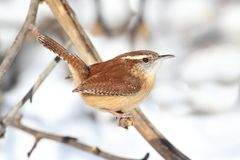 Carolina Wren in Winter Royalty Free Stock Photography