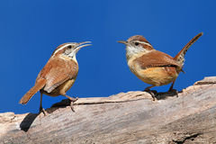Carolina Wrens On A Branch Stock Images