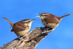 Carolina Wrens On A Stump Royalty Free Stock Images