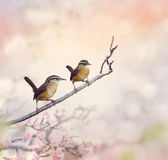 Carolina Wrens Royalty Free Stock Photos