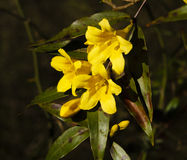 Carolina Yellow Jasmine Flowers. A vine of Carolina Yellow Jasmine (Gelsemium sempervirens) in the afternoon sunlight. This is the State of South Carolina's Royalty Free Stock Images