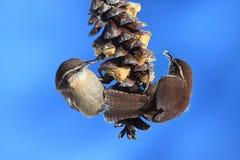 Carolina-Zaunkönige auf einem Kiefer-Kegel Lizenzfreies Stockbild