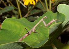 Carolinabetender Mantis (Stagmomantis Carolina) Lizenzfreie Stockbilder