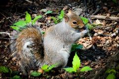 Caroline ` s Grey Squirrel Nibbling bij een Eikel in een Kreupelhout royalty-vrije stock foto