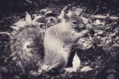 Caroline ` s Grey Squirrel Nibbling bij een Eikel in een Kreupelhout royalty-vrije stock fotografie