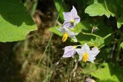 Carolinense de solanum d'†de Carolina Horse Nettle Flower «  Photo stock