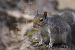 carolinensis东部灰色中型松鼠灰鼠 库存照片