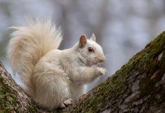 carolinensis中型松鼠灰鼠白色 免版税库存图片