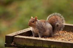carolinensis灰色中型松鼠灰鼠 库存照片