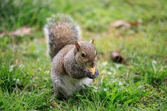 Carolinensis de Gray Squirrel Sciurus Photographie stock libre de droits