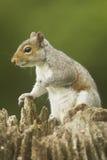 Carolinensis de Grey Squirrel Sciurus Foto de archivo