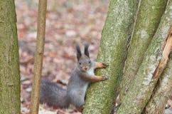 Carolinensis do Sciurus do esquilo de cinza oriental Fotografia de Stock Royalty Free