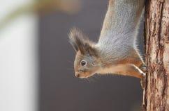 Carolinensis do Sciurus do esquilo de cinza oriental Fotos de Stock