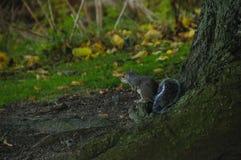 Carolinensis Escocia Reino Unido de Grey Squirrel Sciurus Imagenes de archivo