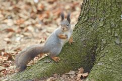 Carolinensis oriental de Grey Squirrel Sciruus Fotografia de Stock