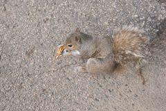 Carolinensis oriental de Grey Squirrel Sciurus mangeant un écrou image libre de droits