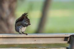 Carolinensis orientale di Gray Squirrel Sciurus che mangia un whi della ghianda Immagine Stock Libera da Diritti