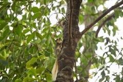 Carolinensis Sciruus белки восточного серого цвета на дереве Стоковое фото RF