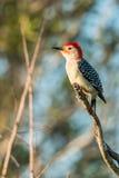 carolinus Vermelho-inchado do Melanerpes do woodpecker Imagem de Stock